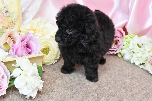 トイプードルの子犬(ID:1272711014)の7枚目の写真/更新日:2020-05-21
