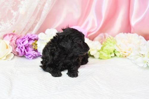 トイプードルの子犬(ID:1272711015)の1枚目の写真/更新日:2020-05-11