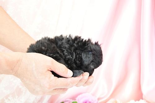 トイプードルの子犬(ID:1272711015)の2枚目の写真/更新日:2020-05-11