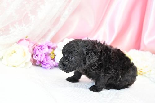 トイプードルの子犬(ID:1272711015)の3枚目の写真/更新日:2020-05-11
