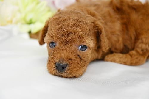 トイプードルの子犬(ID:1272711016)の1枚目の写真/更新日:2020-05-28