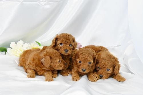 トイプードルの子犬(ID:1272711016)の4枚目の写真/更新日:2020-05-28