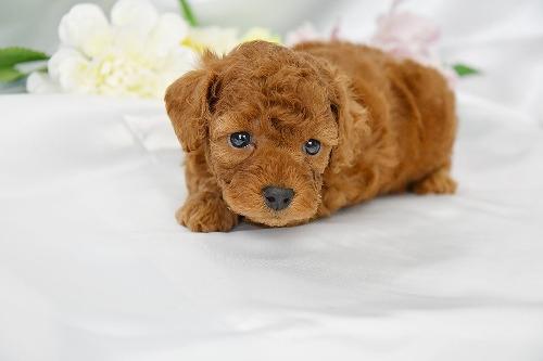 トイプードルの子犬(ID:1272711017)の1枚目の写真/更新日:2020-05-28