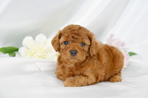 トイプードルの子犬(ID:1272711017)の2枚目の写真/更新日:2020-05-28