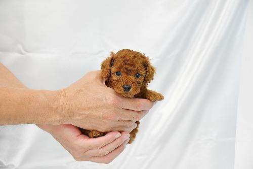 トイプードルの子犬(ID:1272711017)の3枚目の写真/更新日:2020-05-28