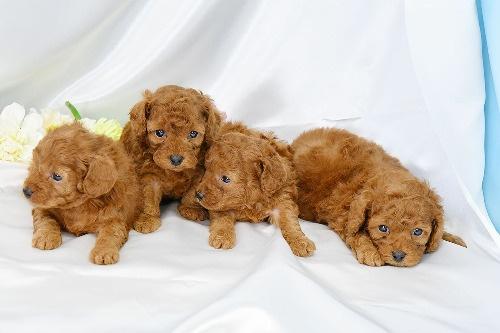 トイプードルの子犬(ID:1272711017)の4枚目の写真/更新日:2020-05-28