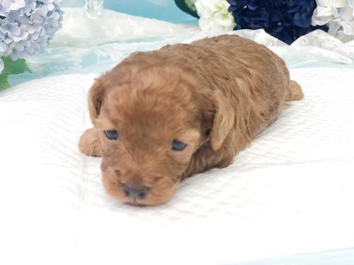 トイプードルの子犬(ID:1272711018)の1枚目の写真/更新日:2020-05-28