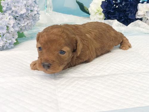 トイプードルの子犬(ID:1272711018)の2枚目の写真/更新日:2020-05-28