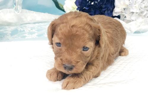 トイプードルの子犬(ID:1272711018)の3枚目の写真/更新日:2020-05-28