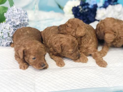 トイプードルの子犬(ID:1272711018)の4枚目の写真/更新日:2020-05-28