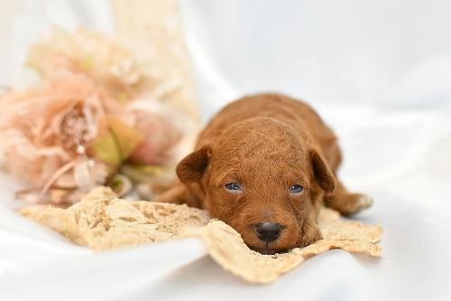 トイプードルの子犬(ID:1272711019)の1枚目の写真/更新日:2020-06-17