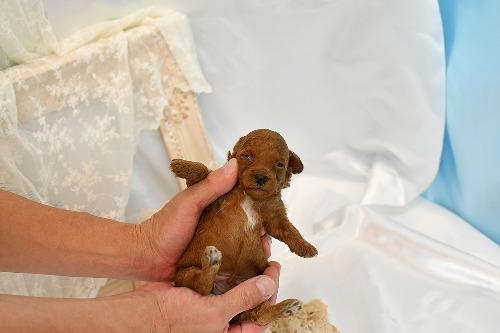 トイプードルの子犬(ID:1272711019)の4枚目の写真/更新日:2020-06-17