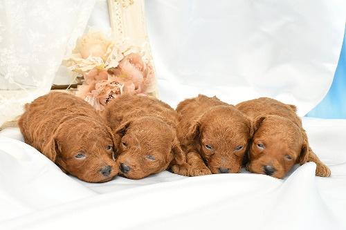 トイプードルの子犬(ID:1272711019)の5枚目の写真/更新日:2020-06-17