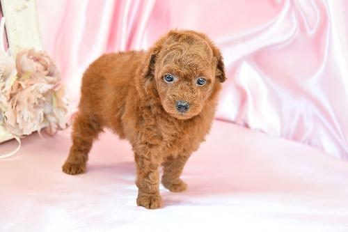 トイプードルの子犬(ID:1272711020)の1枚目の写真/更新日:2020-07-06
