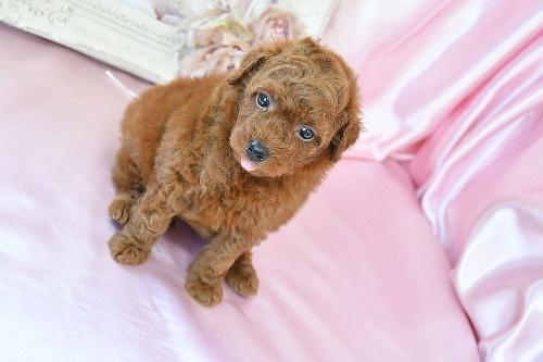 トイプードルの子犬(ID:1272711020)の2枚目の写真/更新日:2020-07-06
