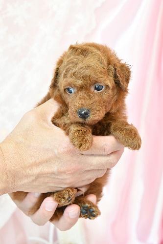 トイプードルの子犬(ID:1272711020)の3枚目の写真/更新日:2020-07-06