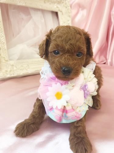 トイプードルの子犬(ID:1272711020)の4枚目の写真/更新日:2020-07-06