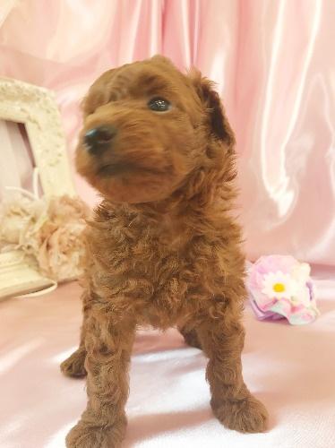 トイプードルの子犬(ID:1272711020)の5枚目の写真/更新日:2020-07-06