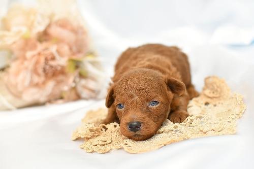 トイプードルの子犬(ID:1272711021)の1枚目の写真/更新日:2020-06-17