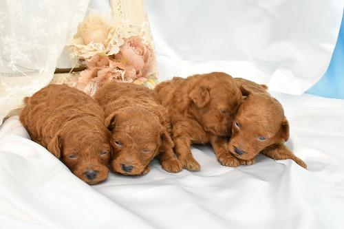 トイプードルの子犬(ID:1272711021)の4枚目の写真/更新日:2020-06-17