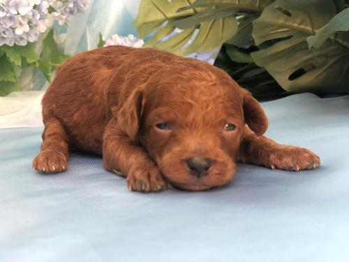 トイプードルの子犬(ID:1272711022)の1枚目の写真/更新日:2020-06-13