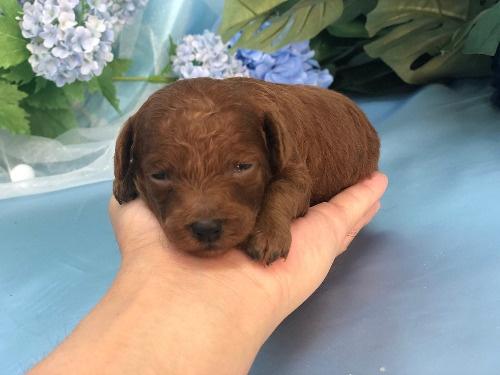 トイプードルの子犬(ID:1272711022)の2枚目の写真/更新日:2020-06-13