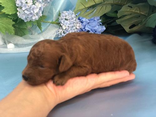 トイプードルの子犬(ID:1272711022)の3枚目の写真/更新日:2020-06-13