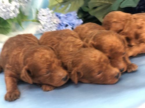 トイプードルの子犬(ID:1272711022)の4枚目の写真/更新日:2020-06-13