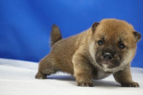 柴犬の子犬(ID:1272811002)の2枚目の写真/更新日:2019-03-18