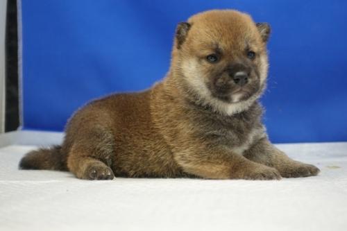柴犬の子犬(ID:1272811002)の4枚目の写真/更新日:2021-07-13