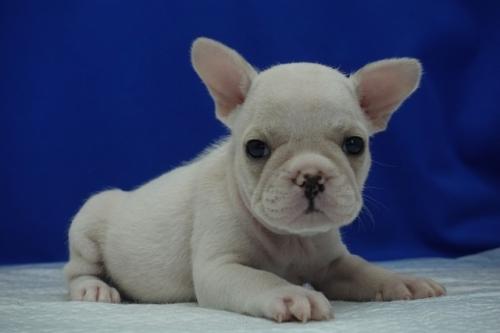 フレンチブルドッグの子犬(ID:1272811003)の1枚目の写真/更新日:2020-01-04