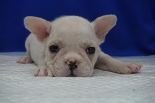 フレンチブルドッグの子犬(ID:1272811003)の2枚目の写真/更新日:2020-01-04