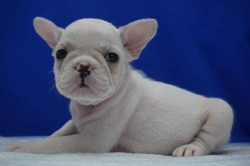 フレンチブルドッグの子犬(ID:1272811003)の3枚目の写真/更新日:2018-08-09