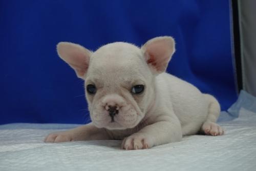 フレンチブルドッグの子犬(ID:1272811003)の4枚目の写真/更新日:2021-09-10