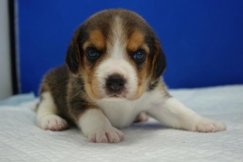 ビーグルの子犬(ID:1272811004)の1枚目の写真/更新日:2020-10-08
