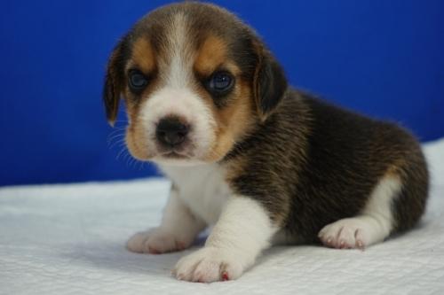 ビーグルの子犬(ID:1272811004)の2枚目の写真/更新日:2018-08-24