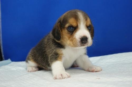 ビーグルの子犬(ID:1272811004)の3枚目の写真/更新日:2020-10-08