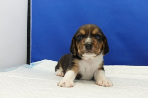 ビーグルの子犬(ID:1272811004)の4枚目の写真/更新日:2020-10-08