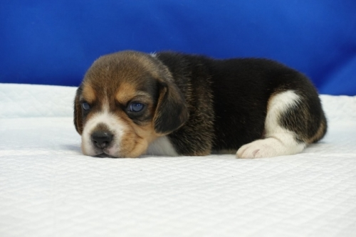 ビーグルの子犬(ID:1272811005)の1枚目の写真/更新日:2018-07-31