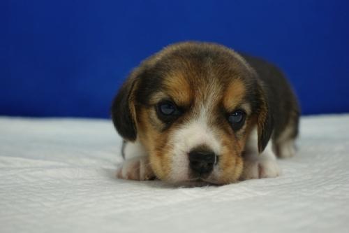 ビーグルの子犬(ID:1272811005)の2枚目の写真/更新日:2018-07-31
