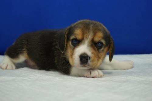 ビーグルの子犬(ID:1272811005)の3枚目の写真/更新日:2018-07-31