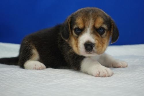 ビーグルの子犬(ID:1272811005)の4枚目の写真/更新日:2020-10-19