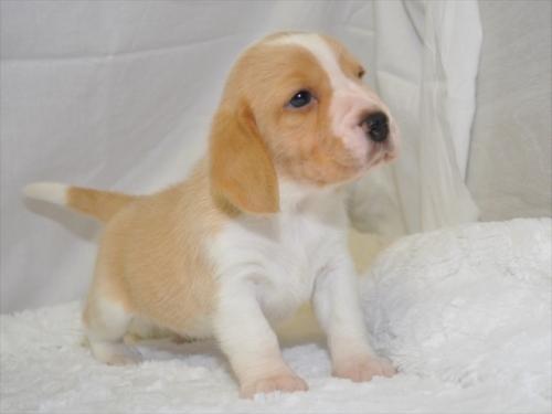 ビーグルの子犬(ID:1272811007)の2枚目の写真/更新日:2019-04-21