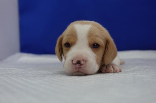 ビーグルの子犬(ID:1272811008)の1枚目の写真/更新日:2020-10-08