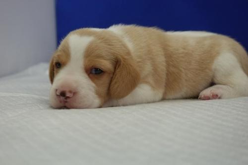 ビーグルの子犬(ID:1272811008)の2枚目の写真/更新日:2020-10-08