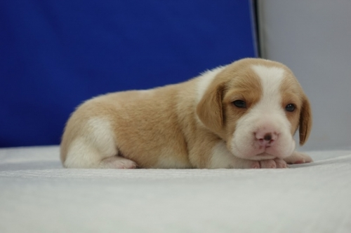 ビーグルの子犬(ID:1272811008)の3枚目の写真/更新日:2020-10-08