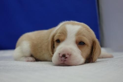 ビーグルの子犬(ID:1272811008)の4枚目の写真/更新日:2020-10-08