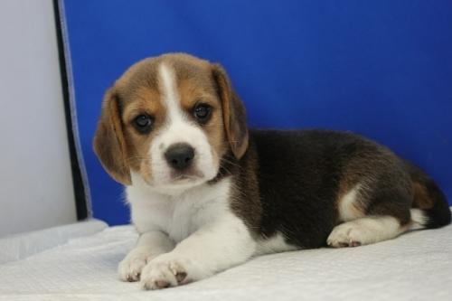 ビーグルの子犬(ID:1272811009)の1枚目の写真/更新日:2020-10-08