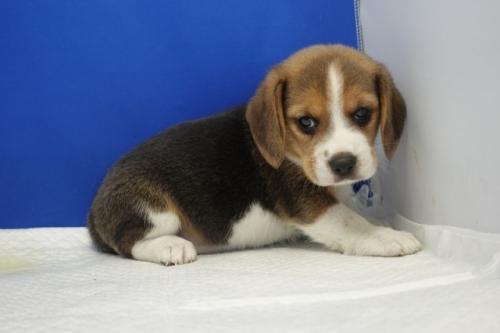 ビーグルの子犬(ID:1272811009)の2枚目の写真/更新日:2020-10-08