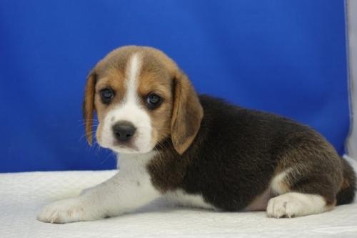 ビーグルの子犬(ID:1272811009)の3枚目の写真/更新日:2020-10-08